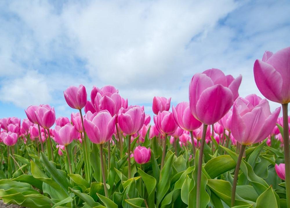 pink-tulip-bulb-field-594413