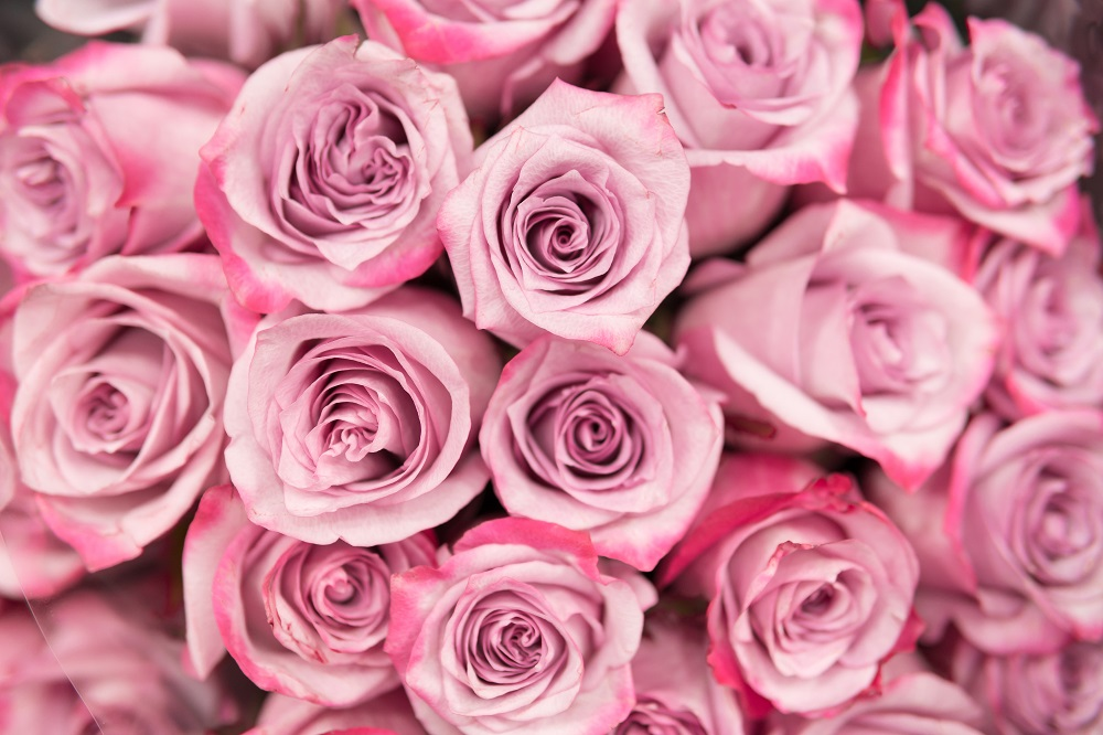 Background of pink roses.